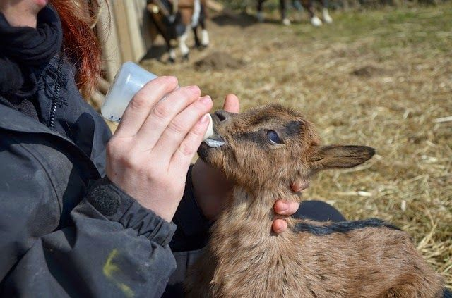 """Dream Journal Experiment: Micro goats """"Inception"""" style"""