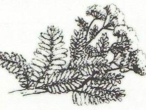 Milenrama, hierbas silvestres