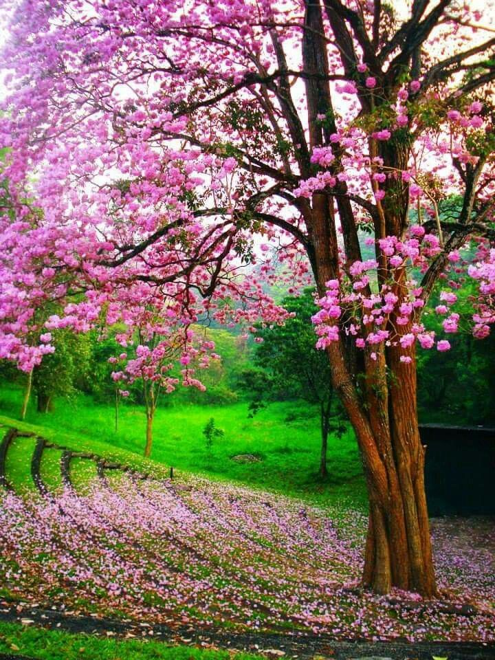 Which Trees Are Used To Make Paper: Flower Tree, University Of Peradeniya, Sri Lanka