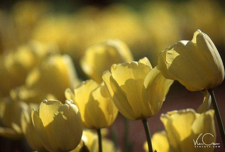 Tulip Flower Photo, Tulip Photo, Flower Photograph, Wall Art, Canvas Art, Home Decor, Fine Art Print, Yellow Flower Photo by KenCavePhotography on Etsy