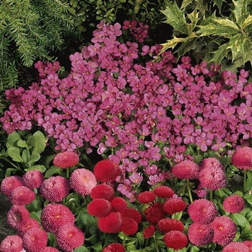 Compinkie wall rockcress is an evergreen spreading for Perennial ground cover with pink flowers