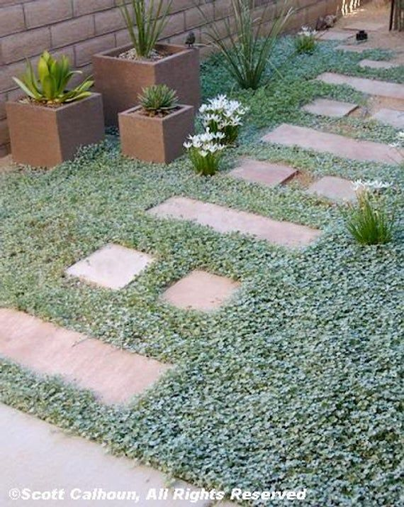 Description Name Dichondra Other Common Names Lawn Leaf Scientific Name Dichondra Repens Color Yellowi Ground Cover Seeds Ground Cover Ground Cover Plants