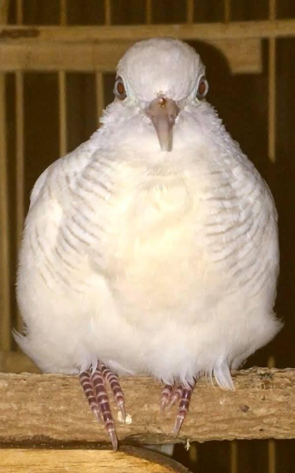Pancingan Perkutut Lokal Putih Mp3 Di 2020 Burung Pancing Cocok