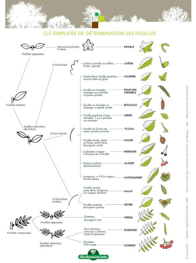 Une clé simplifiée de détermination des feuillus et des épineux réalisée par l'ONF.