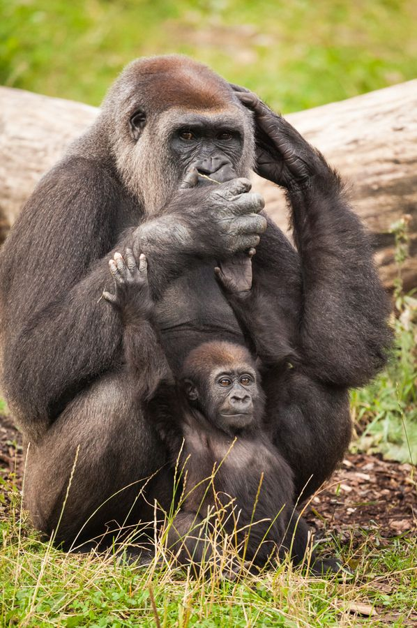 Female Gorilla & Infant