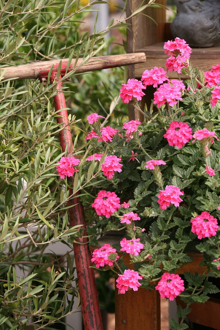 22 best images about flowers pink on pinterest for Colorful low maintenance flowers