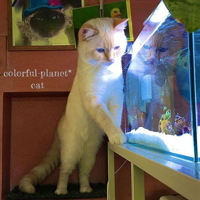 90㎝水槽を置く前の60㎝水槽(浅めの60)と猫。 * 水槽とイタズラ猫とインテリア😊 * 今後、paintなどでaquarium🐠やGreen🌵などが映えるような空間(お部屋やお庭)の実例写真も載せていきたいと思います😊(別アカウント作る予定) * 猫の後ろの壁は元々は白だったのですが、壁紙に直接ペイントしてます。写っている範囲が少しでわかりにくいですがエイジングがしてあり、ちょっと古びた感じに😊汚れが目立ちにくくなる効果もあります✨ * 後ろの写真は先代猫😊 * #海水水槽#マイアクアリウム#アクアリウム #sea#myaquarium#aquarium#coral#coralreef#saltwatertank#ファンタジー#エキゾチックショートヘア#exoticshorthair#子猫#猫#ネコ#cat#kitty #キティ#ラブリー#lovely#愛猫#イタズラ猫#🐈#インテリア#ペイント#paint#アートな壁