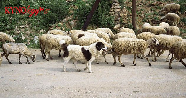 Greek Shepherd and sheep
