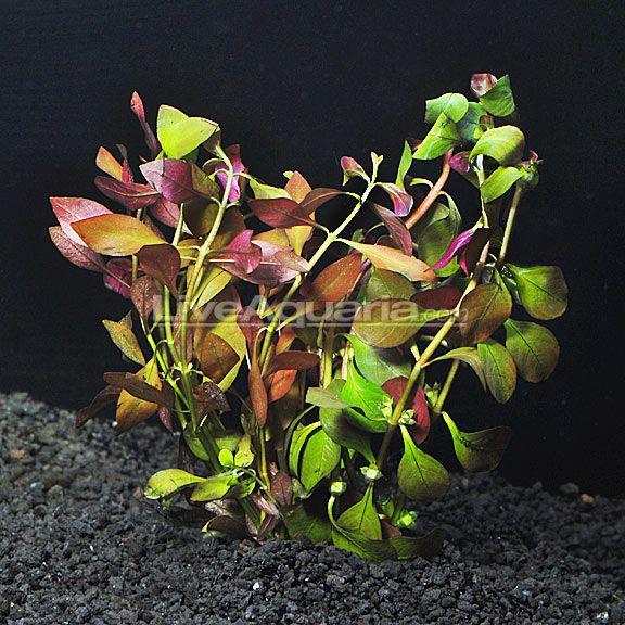 17 best images about aquarium on pinterest plants for Best aquatic plants