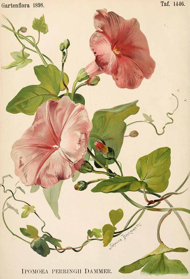 Ipomoea perringiana Dammer [as Ipomoea perringii Dammer]  --Gartenflora [E. von Regel], vol. 47: t. 1446 (1898) [J. Beckmann]