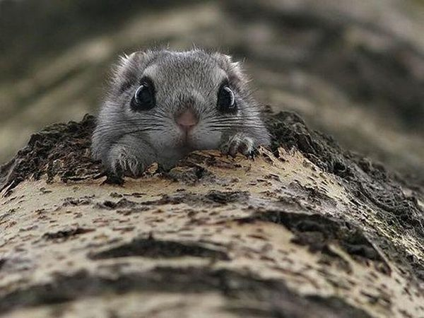 Beady eyes!: Critter, Fly Squirrels, Peek A Boos, Creatures, Sugar Gliders, Japan Fly, Big Eye, Dwarfs Fly, Animal