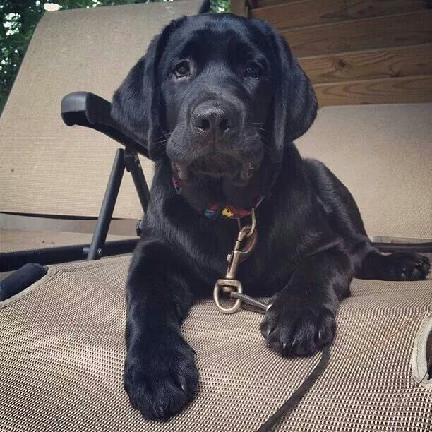 Cool Sad Black Adorable Dog - 70b58fc52de625ac32a7b5741c9fb026--black-lab-puppies-black-dogs  Picture_765239  .jpg