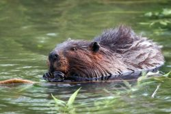 Already known as a keystone species research shows that beavers in North America can also sink excess nitrogen in the watershed