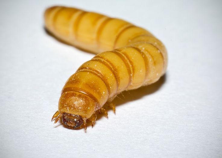 Tenebrio molitor o gusano de harina. (Flickr)