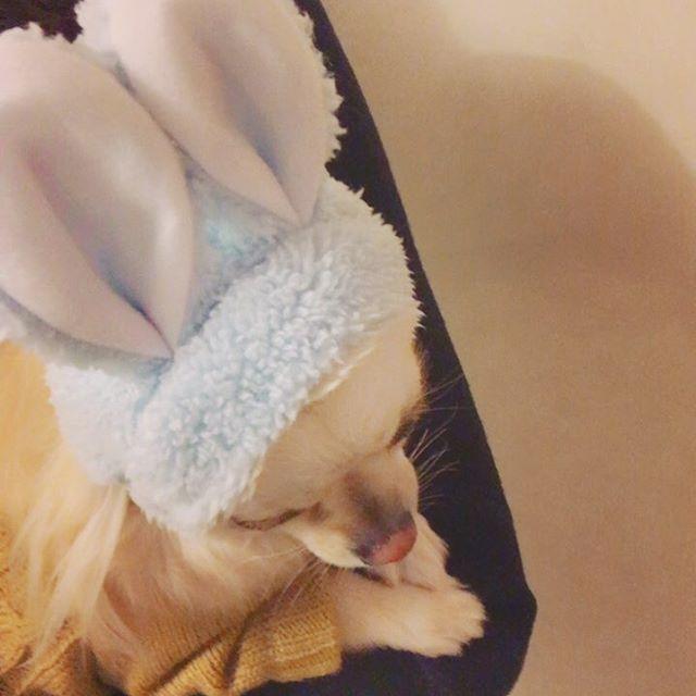 ・ ・ うさぎ? ・ ・ #きなこ #チワワ #chihuahua #愛犬 #ペット #うさぎ #耳 #ガチャガチャ #可愛い