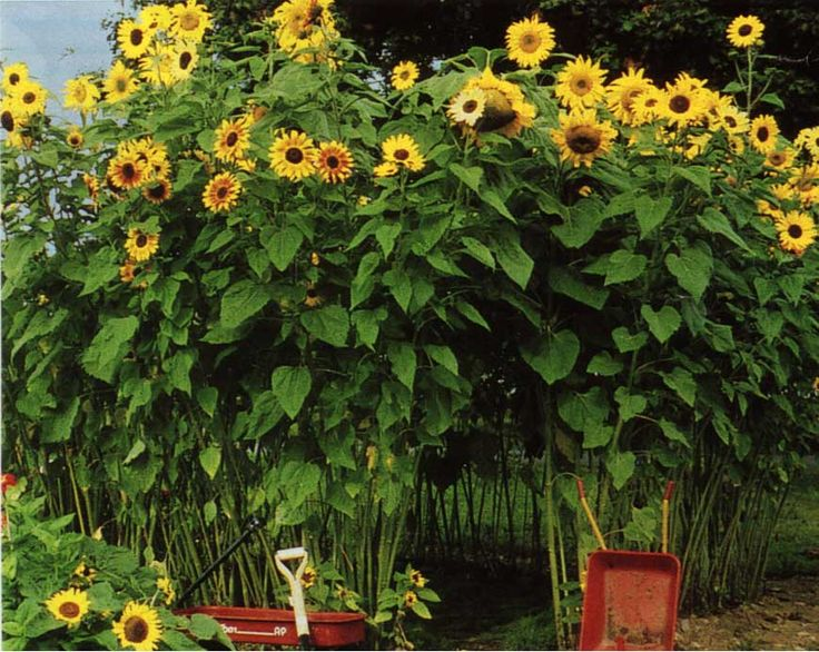 Plant sunflower seeds midspring, fertilize and water, gently tie tops together, and you have a Sunflower House!