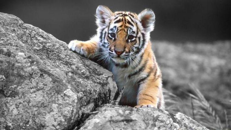 tigre occhi azzurri - Cerca con Google