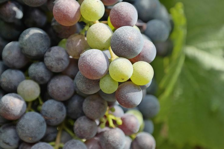 Beautiful Cahors grape.
