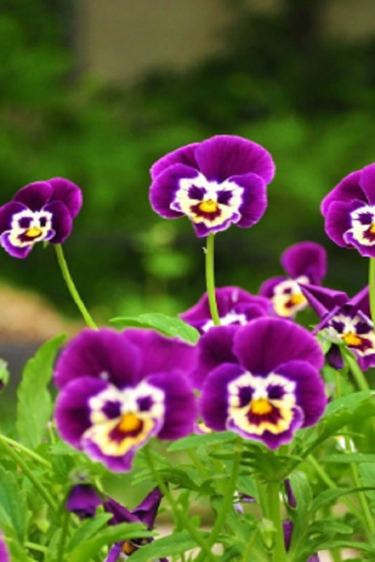 10 Incredibly Rare Flowers You Have Probably Never Seen Pansies