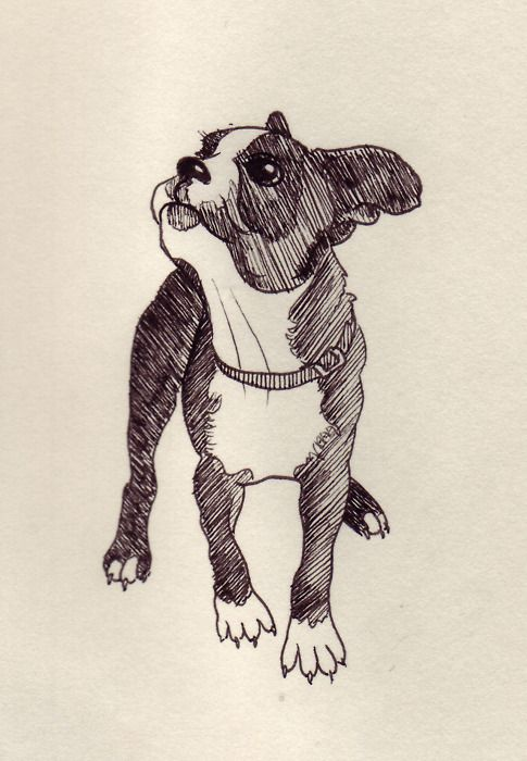 Boston Terrier Sketch