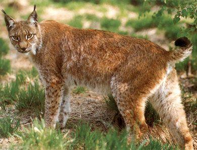 Ryś rudy (Lynx rufus).  Występuje w Ameryce Północnej, na większości terenów kontynentalnych Stanów Zjednoczonych od południowej Kanady do północnego i środkowego Meksyku.