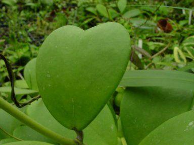 Hoya kerrii leaves
