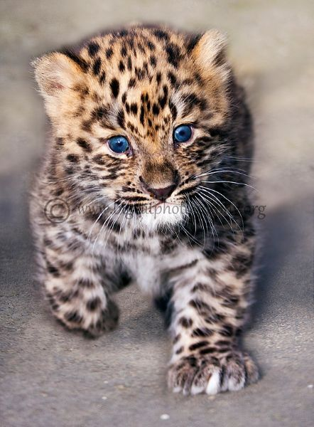 Amur Leopard Cub!!!!! The eyes! And the face!