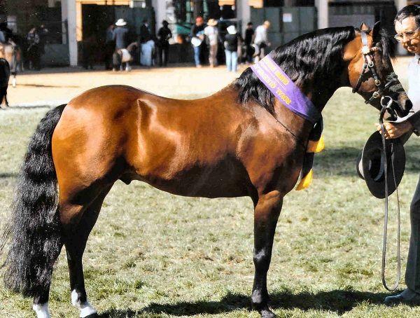 IL PONY AUSTRALIANO  Pony originario dell'Australia, è una razza prodotta dall'uomo attraverso diverse selezioni, incrociando Purosangue Inglesi e Arabi con varie razze di pony come il Welsh e lo Shetland, per ottenere un animale da equitazione per bambini, ottenendo un pony… Per continuare a conoscere la razza: https://itunes.apple.com/it/app/vademecum-del-cavallo-secondo/id765697733?mt=8&uo=4 Grazie.