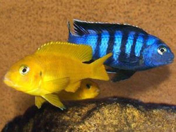 Pseudotropheus Saulosi Cichlid Africancichlids African Cichlids Breeding Cichlid Fish Cichlids African Cichlids