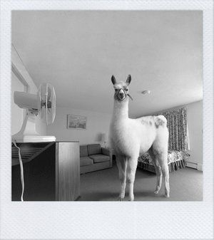 house llama - what every house needs