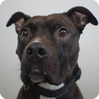 Washington, DC - Staffordshire Bull Terrier Mix. Meet Rufus, a dog for adoption. http://www.adoptapet.com/pet/18038826-washington-dc-staffordshire-bull-terrier-mix