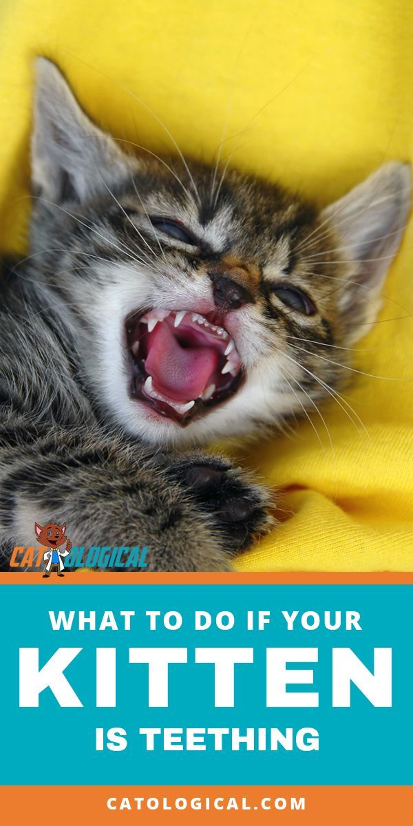If Your Kitten Is Finally Teething It Is A Hard Time For Them Whether You Know It Or Not Here Are Some Tips You Can Use To Ease The Cat