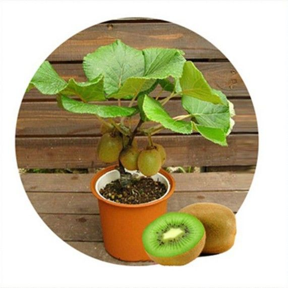Tailandia Mini Kiwi 1 Unids/lote (10 Semillas) Semillas de Plantas Bonsai, delicioso Kiwi Pequeños Árboles Frutales Semillas(China (Mainland))