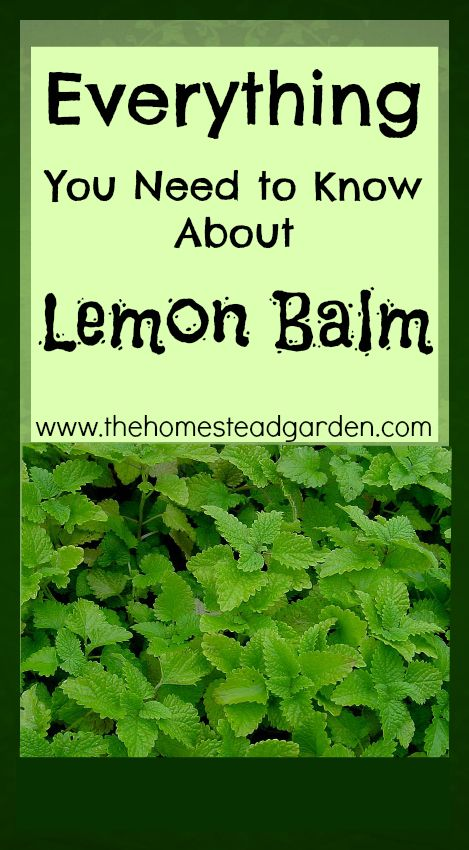 Everything You Need to Know About Lemon Balm....ohhhhhhhhh my favorite garden herb... that and cilantro, oh and basil...