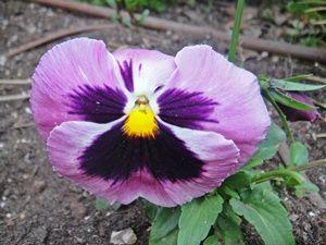 Bunga Pansy Ungu