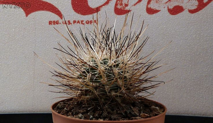 Sclerocactus spinosior | by Nyxtofulakas