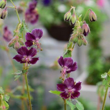 Geranium phaeum 'Samobor' | Peter Beales Roses - the World Leaders in Shrub, Climbing, Rambling and Standard Classic Roses