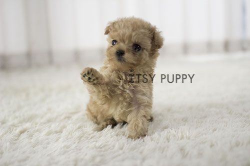 SOLD**Henry - Male Teacup Poodle | Itsy Puppy - Teacup and Microteacup Puppy Breeder