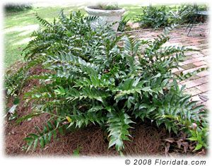 Holly Fern grows quite large and can be divided.  This plant has done fairly well in my shady yard, and tolerated the dogs digging.