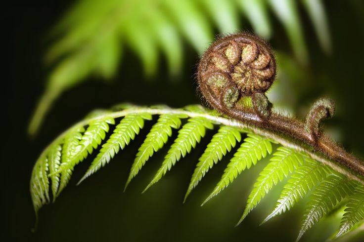 green koru ferns - Google Search