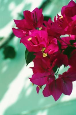 A well-behaved vine that climbs gracefully up a fence or arbor, bougainvilla  (Bougainvillea spp.) produces huge, papery flowers that reach their peak in midsummer. The plant often continues to bloom ...
