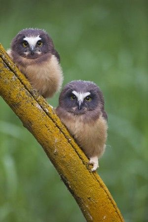 Two fledgling Northern Saw-whet Owls