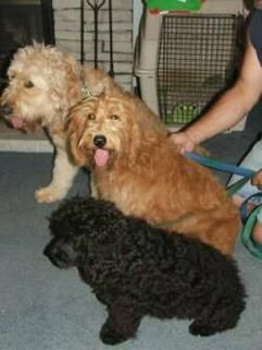 Countryside Doodles, Labradoodle & Goldendoodle Breeders, Puppies for Sale - recommended for F1B mini goldendoodle (WVA)
