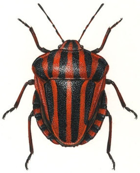 Hemiptera - Graphosoma lineatum.