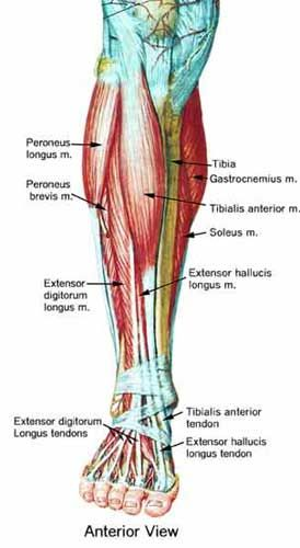 Foot Trainer - Foot and Leg Anatomy