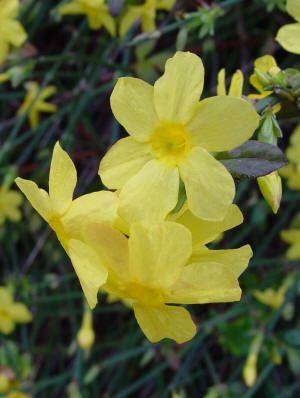 How to prune Winter Jasmine - Yellow flowers Jasminum nudiflorum