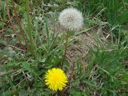 wild dandelion - Google Search