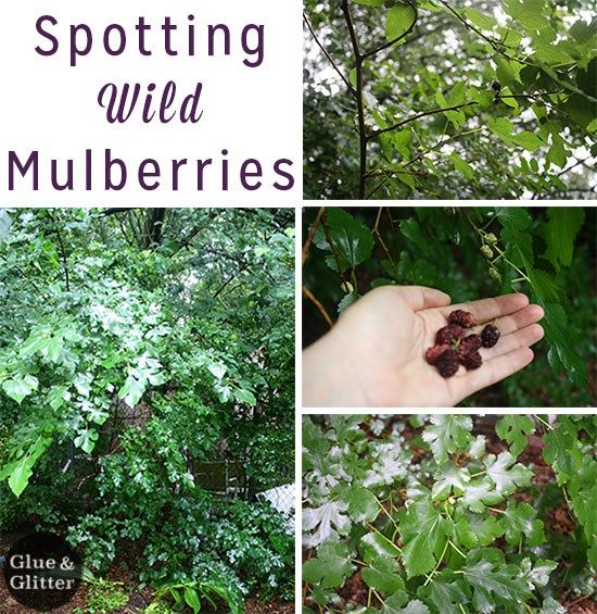 What's interesting about mulberry trees - at least around here - is that a lot of folks consider them a nuisance. They drop their dark berries on the ground, on your house, and on your car. Mulberries are sort of like tiny blackberries, which means that they stain. That means that foraging for mulberries is basically a public service.