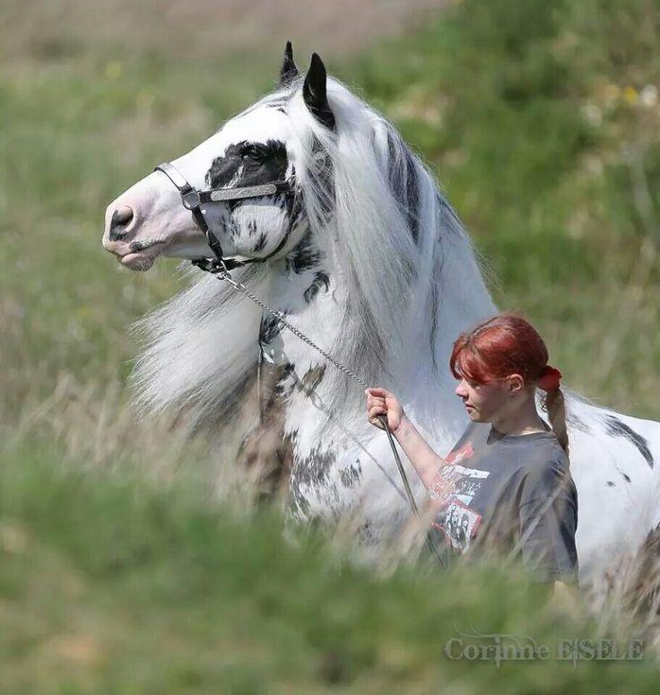 12 Best Images About Splash-Gypsy Vanner Stallion On