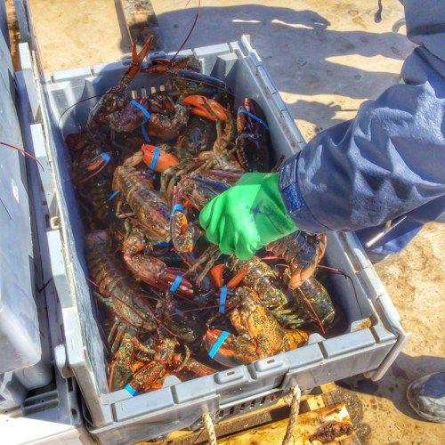 Freshly caught lobster